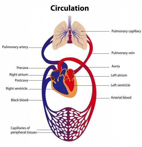 Simple Diagram Of The Circulatory System Simple Human Circulatory