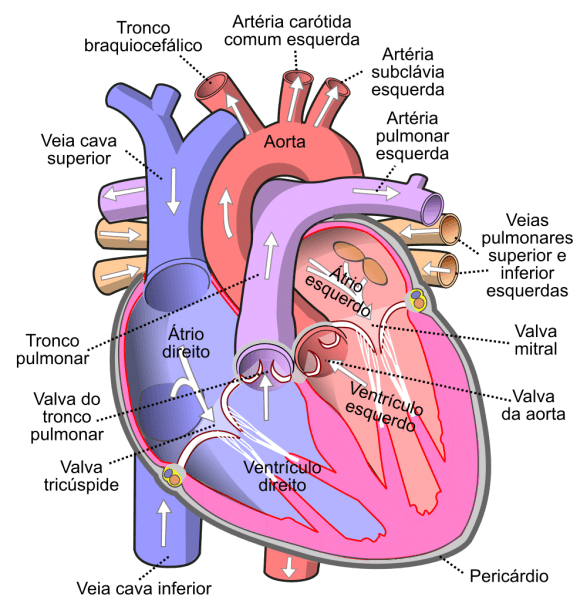 File Diagram Of The Human Heart (cropped) Pt Svg