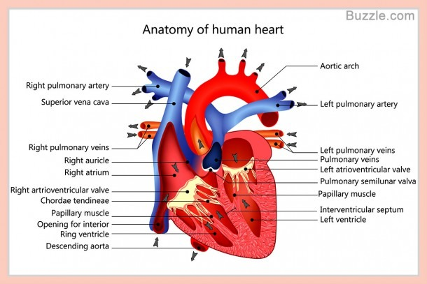 A Labeled Diagram Of The Human Heart You Really Need To See
