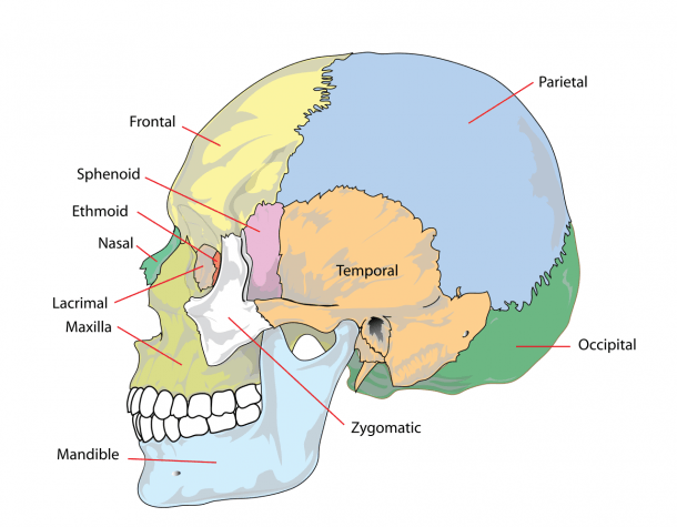 File Human Skull Side Simplified (bones) Svg
