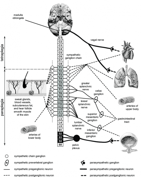 Autonomic Nervous System And Spinal Cord Injury  Schematic Diagram