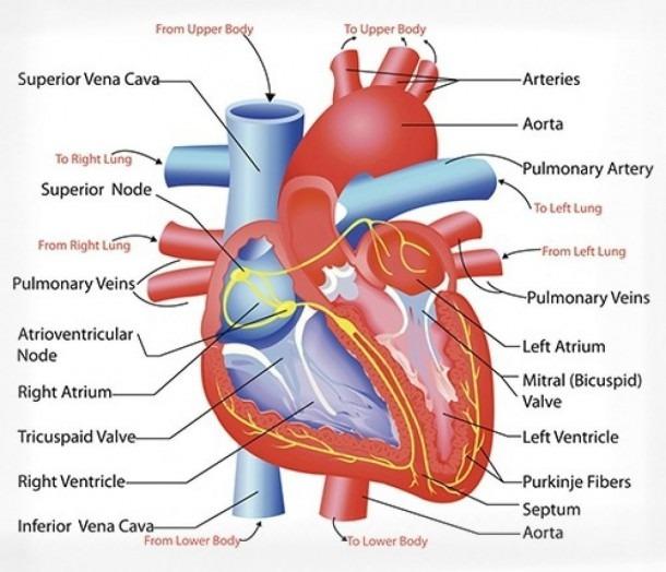 Cardiovascular System Heart Diagram