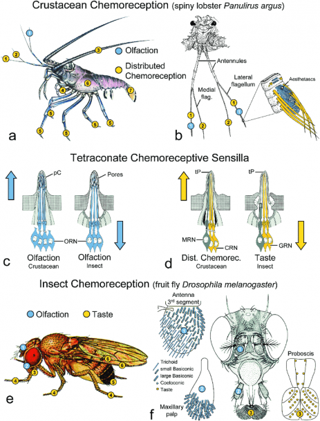 Comparison Of Decapod Crustacean And Insect Chemosensory Systems