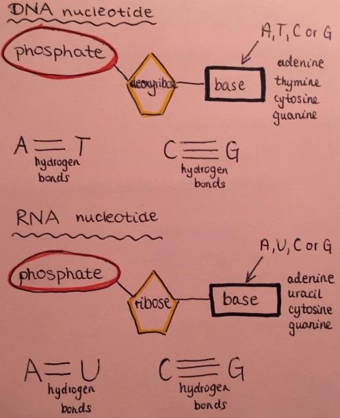 Dna Molecule Diagram Rna Molecule Diagram