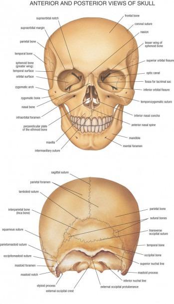 Head Bone Anatomy Anteroir And Posterior View