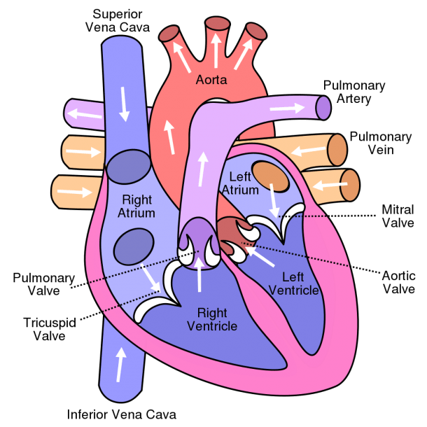 Cardiac Cycle And The Human Heart  A  Understanding For Igcse