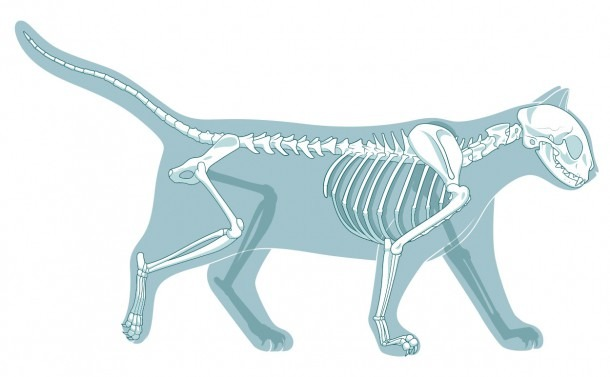 How Many Bones Are In A Cat Skeleton