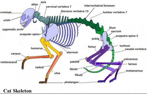Cat Skeleton Labeled – Wohnzimmer Ideen