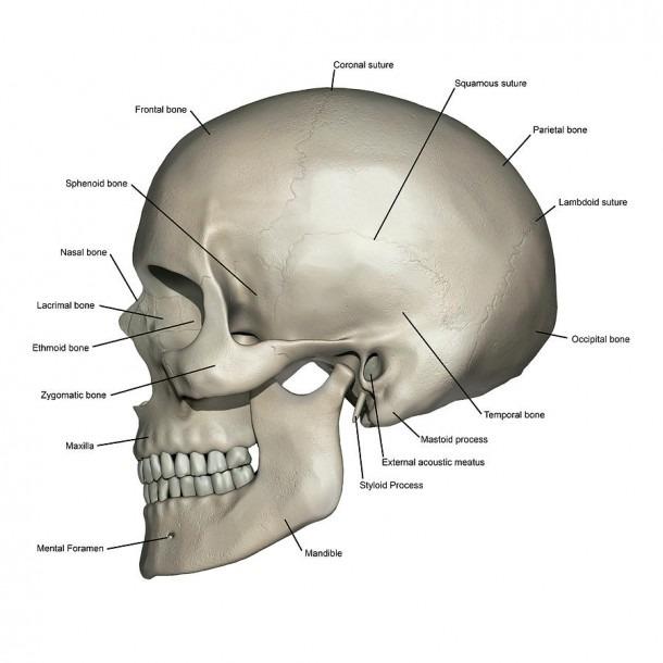 Lateral View Of Human Skull Anatomy Photograph By Alayna Guza