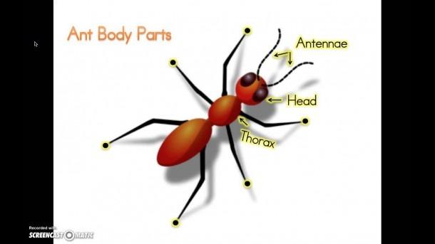 Ant Body Parts Kindergarten