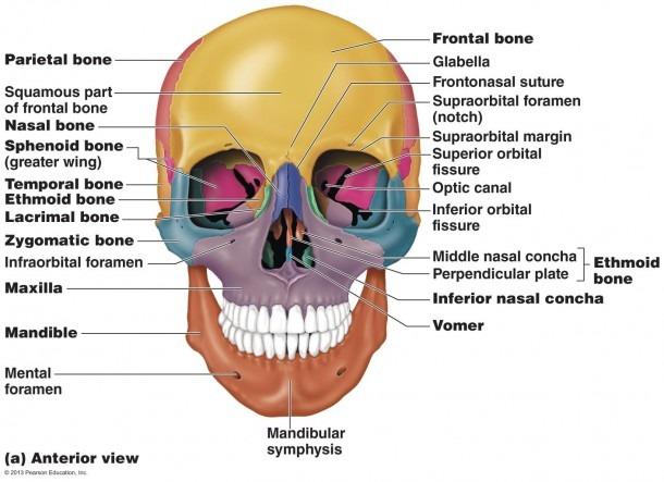 Skull Anatomy Anterior View