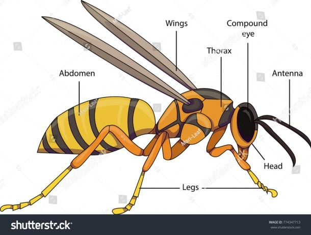 Vector Illustration Insect Diagram Labeled Parts Stock Vector