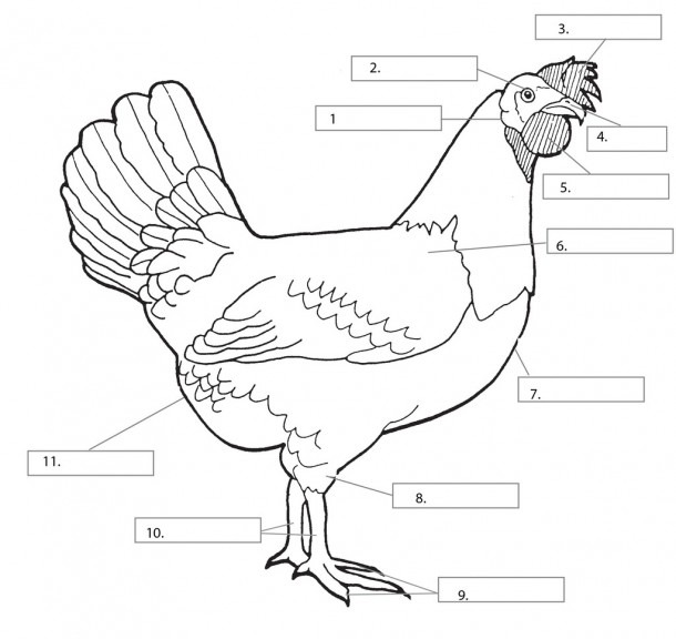 Parts Of A Chicken Diagram