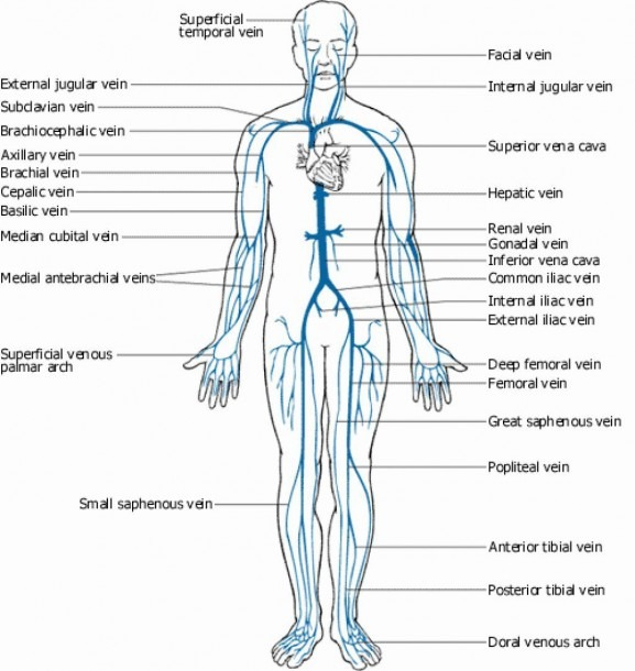 Arteries In The Body Diagram Arteries Of The Body Labeling Veins