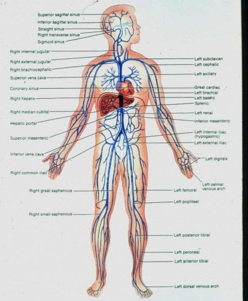 Body Vein Diagram Luxury Full Body Diagram Veins New Major