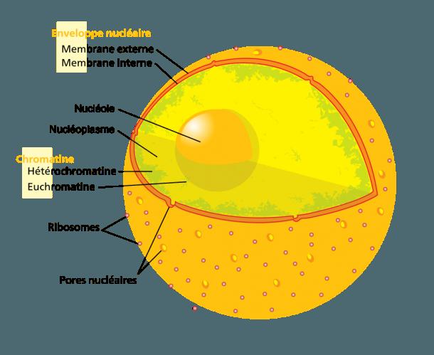 File Diagram Human Cell Nucleus Fr Svg