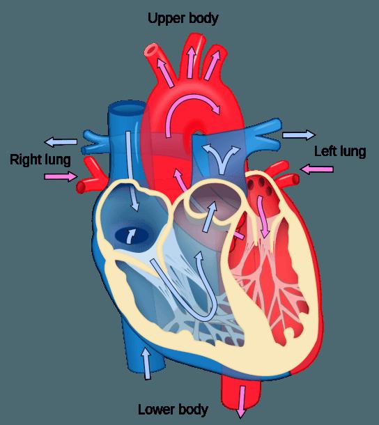 File Heart Diagram Blood Flow En Svg