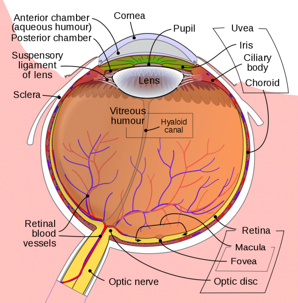 File Schematic Diagram Of The Human Eye En Svg