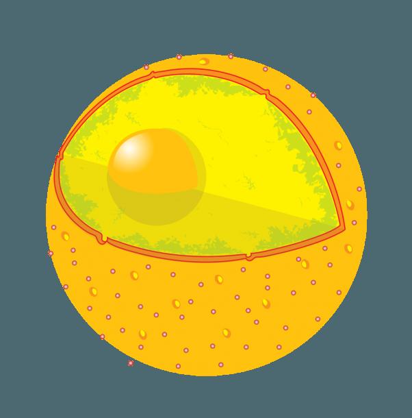 File Diagram Cell Nucleus No Text Svg