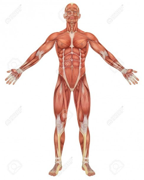 A Illustration Of The Front View Of The Male Muscular Anatomy