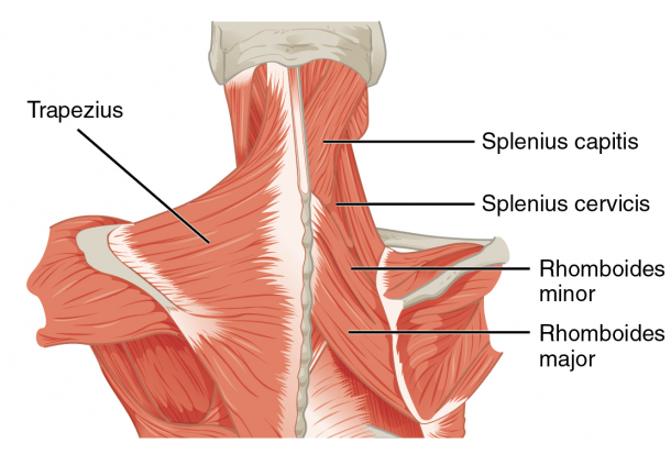 File 1117 Muscles Of The Neck Upper Back Png