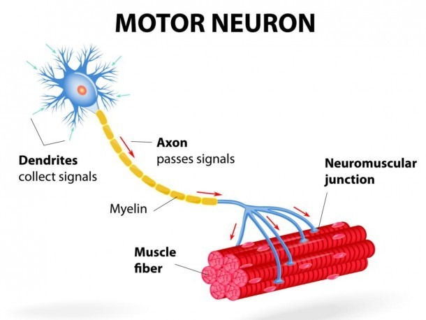 Location, Structure, And Functions Of Motor Neurons