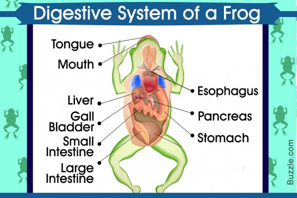 Digestive System Of A Frog Aptly Explained With A Labeled Diagram