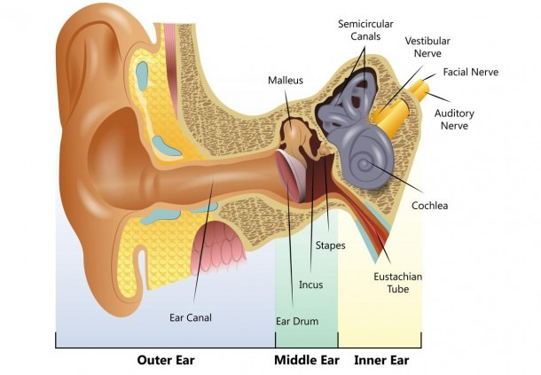 Structure And Functions Of The Ear Explicated With Diagrams