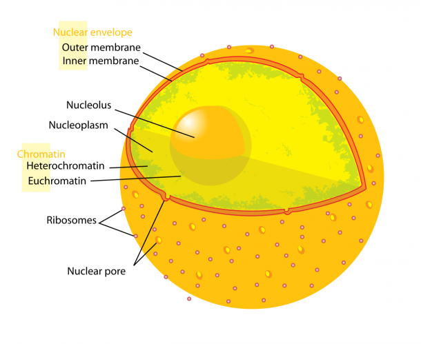 File Diagram Human Cell Nucleus Svg