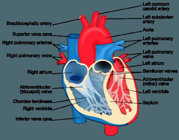 File Heart Diagram