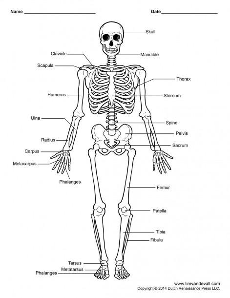 Labelled Human Skeleton Printable Human Skeleton Diagram
