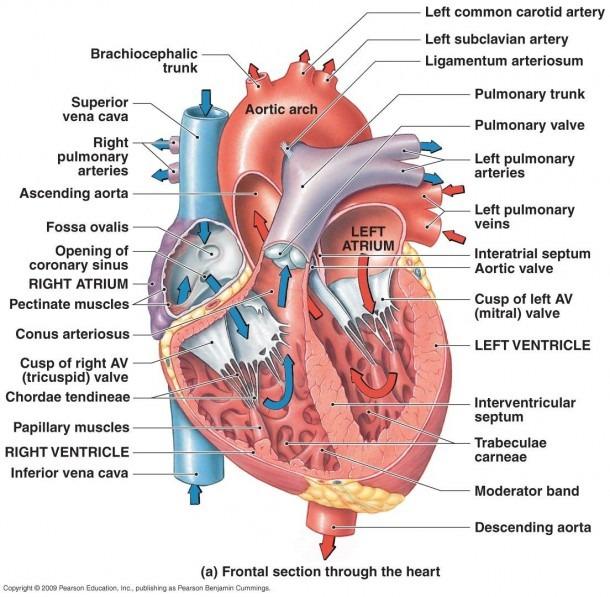 Heart Diagram  Right Left Atria, Right Left Ventricles, Pulmonary