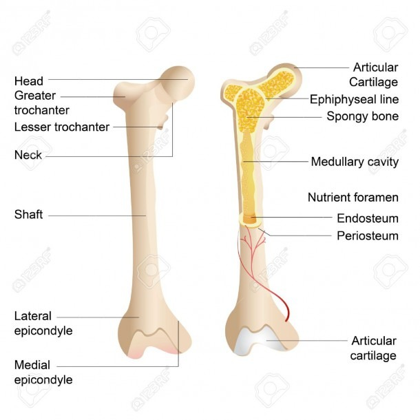 Vector Illustration Of Diagram Of Human Bone Anatomy Royalty Free
