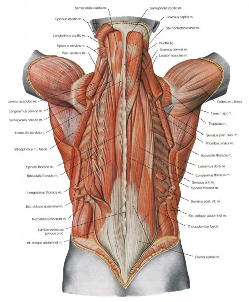 Image Result For Human Back Diagram