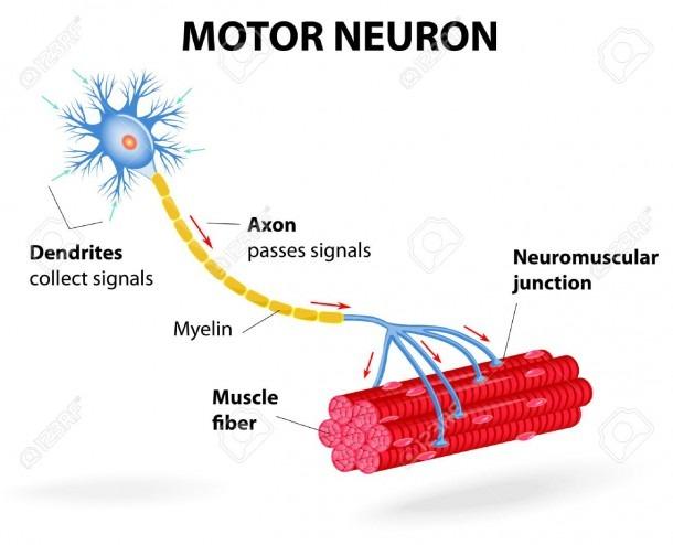 Structure Motor Neuron  Vector Diagram  Include Dendrites, Cell
