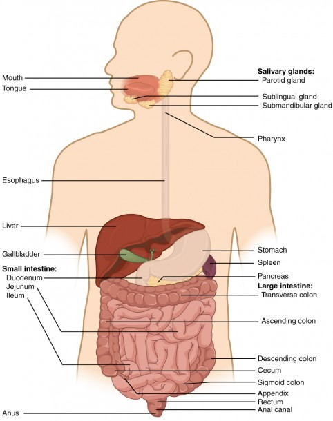 23 1 Overview Of The Digestive System – Anatomy And Physiology