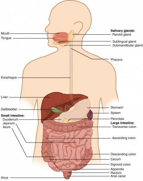 Overview Of The Digestive System