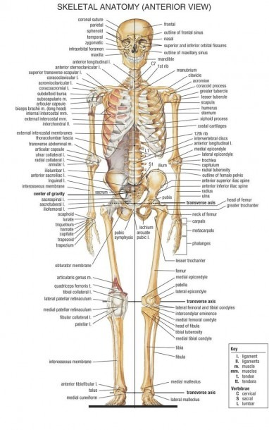 Human Body Bone Diagram Bones Diagram Human Body Anatomy Human