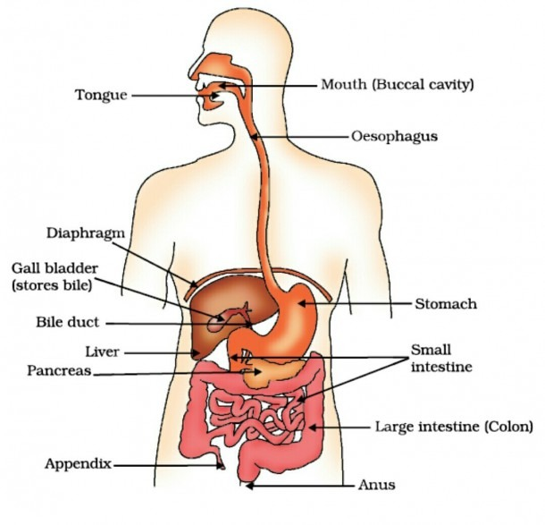 Easy Steps To Draw Human Digestive System [class 10 Ncert] Write