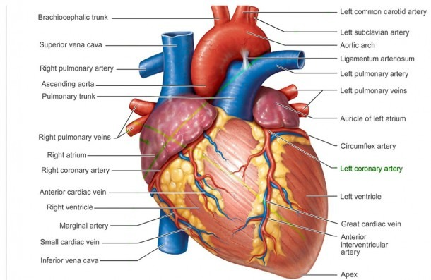 Human Anatomy Lungs And Heart Heart Anatomy 10 Best Quality Good