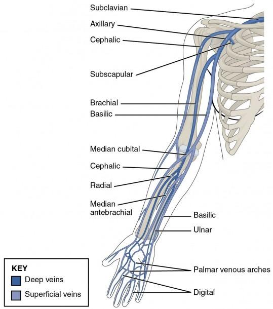 Right Arm Veins Diagram