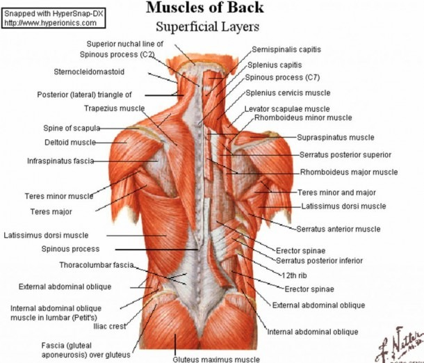 Back Muscles Anatomy Lower Back Muscles Anatomy Human Anatomy