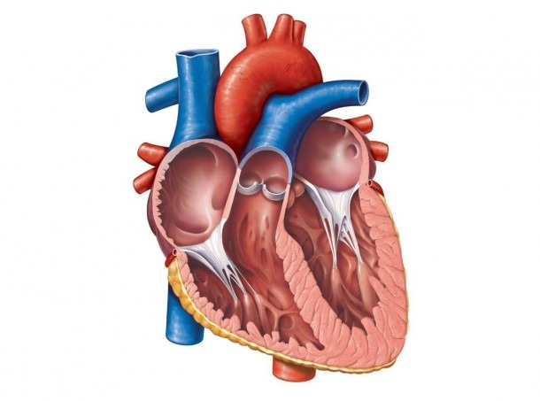 Anatomical Heart Diagram Anatomy Of The Heart Unlabeled Clipart