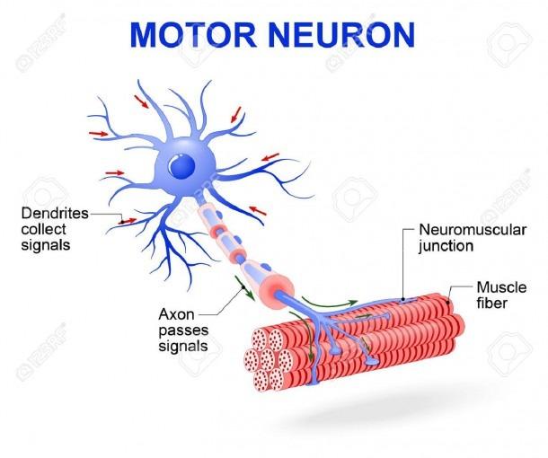 Structure Of Motor Neuron  Vector Diagram  Include Dendrites