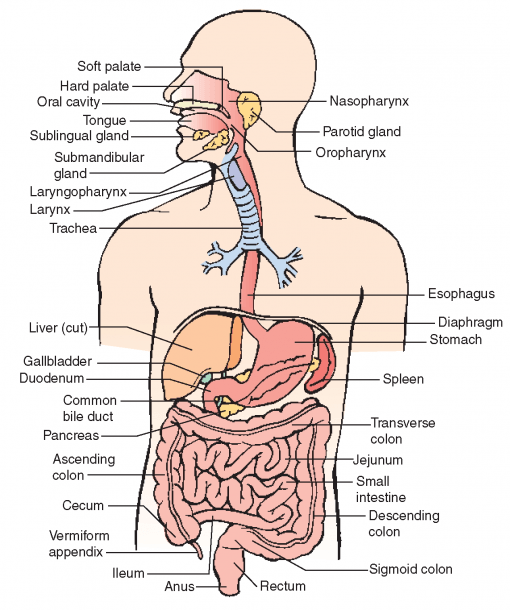 A Picture Labeling All The Parts In The Digestive System