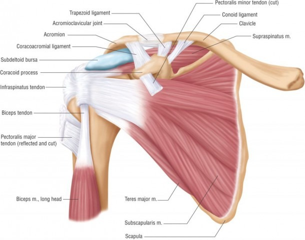 Shoulder Anatomy Picture