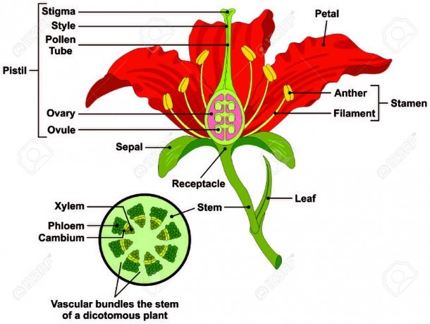 Flower Parts Diagram With Stem Cross Section Anatomy Of Plant
