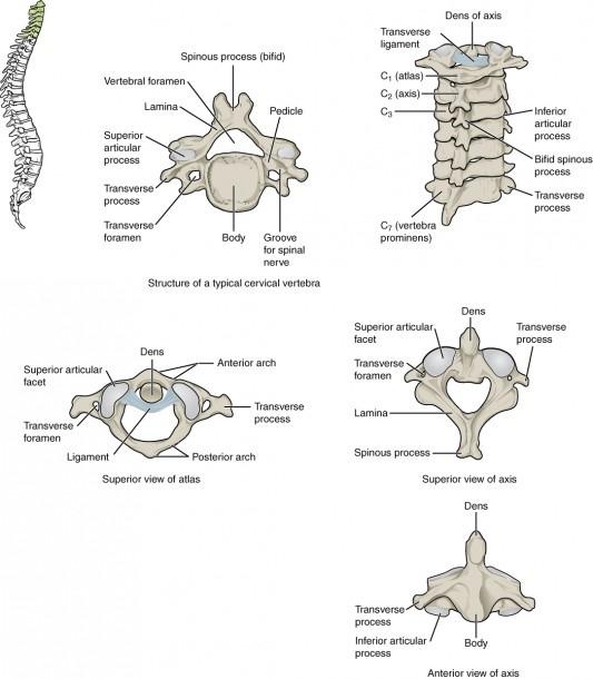 7 3 The Vertebral Column – Anatomy And Physiology