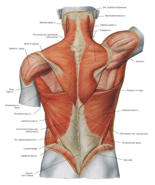 Female Torso Musculature Labelled Back Muscles Anatomy Anatomy Of