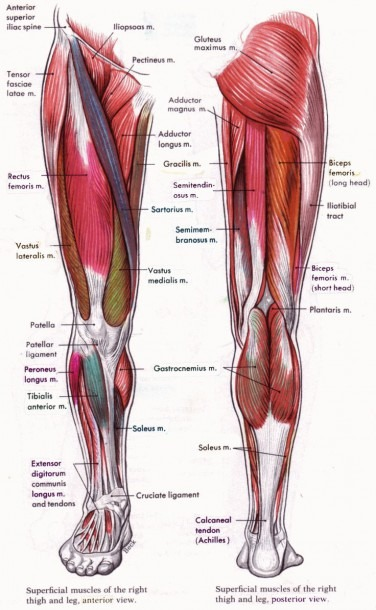 Human Anatomy And Physiology Diagrams  Legs Muscle Diagram